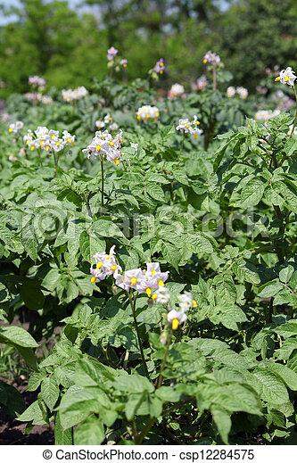 potato flower agriculture spring scene - csp12284575