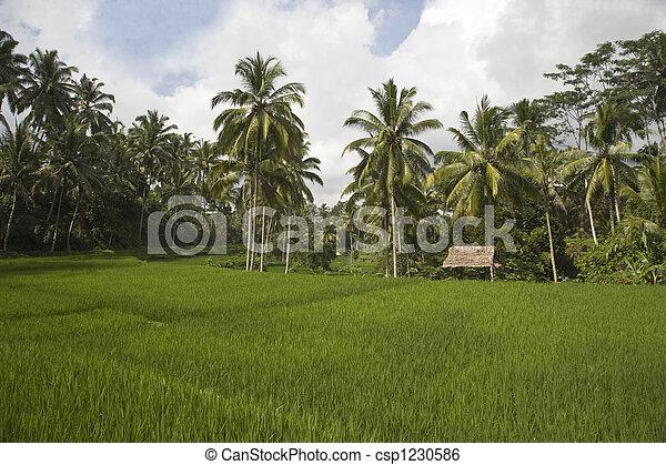 Bali ricefield - csp1230586