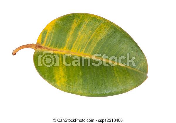 Photographies de caoutchouc plante feuille blanc fond for Plante caoutchouc