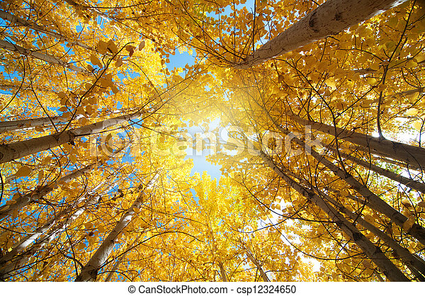 Fall Aspen Trees - csp12324650