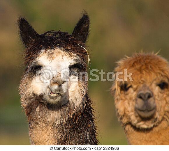 Alpacas camelid mammal - csp12324986