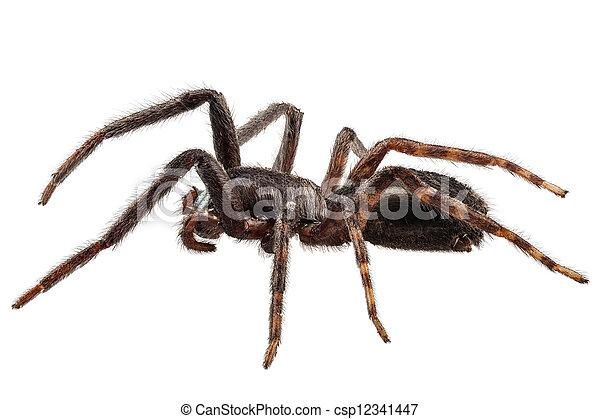 stock foto von arten tegenaria schwarz spinne sp schwarz spinne csp12341447 suchen. Black Bedroom Furniture Sets. Home Design Ideas