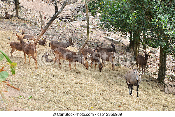 Group of Sambar deer in forest - csp12356989