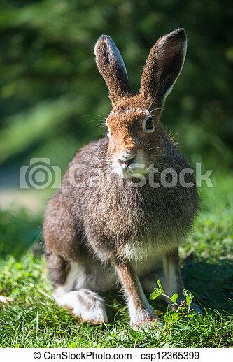 Mountain Hare (lat. Lepus timidus) - csp12365399