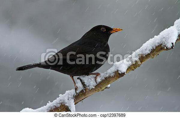 Blackbird in the snow - csp12397689