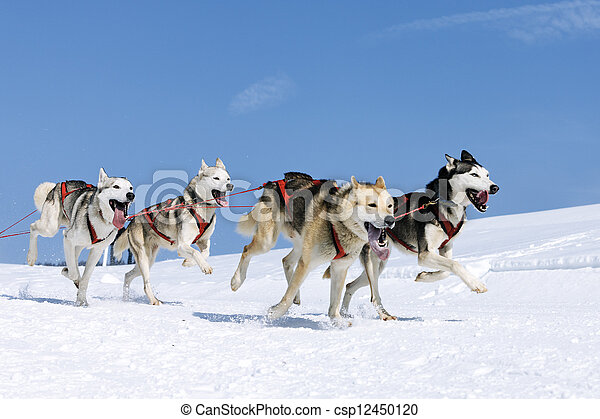sportive dogs in the snow  - csp12450120