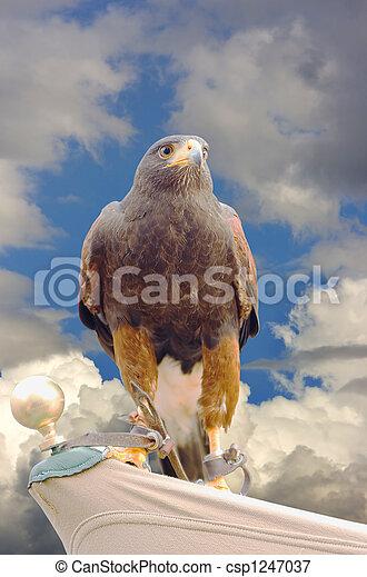 eagle hawk predatory bird - csp1247037