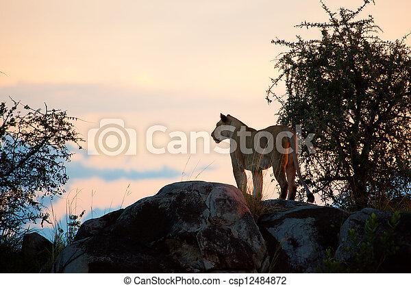 Female lion at sunset. Serengeti, Tanzania - csp12484872