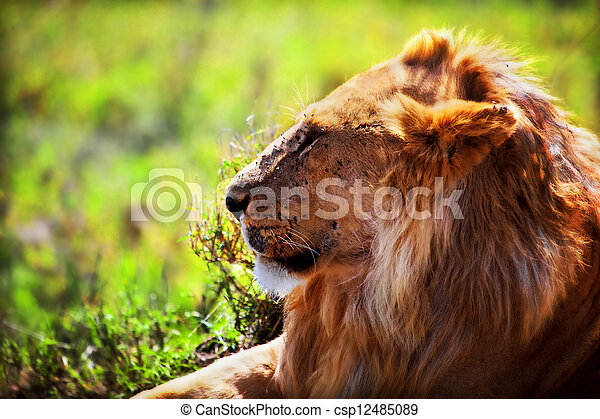 Young adult male lion on savanna. Safari in Serengeti, Tanzania, Africa - csp12485089