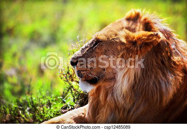 Young adult male lion on savanna. Safari in Serengeti, Tanzania, Africa - csp12485089