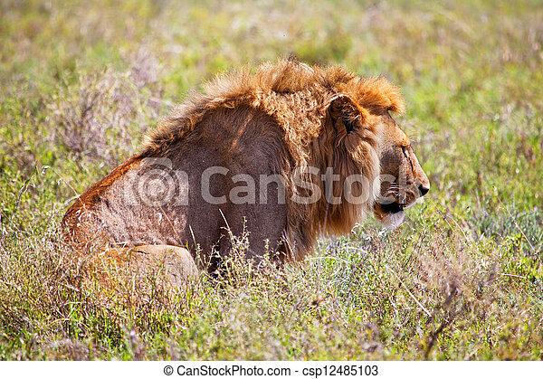 Young adult male lion on savanna. Safari in Serengeti, Tanzania, Africa - csp12485103