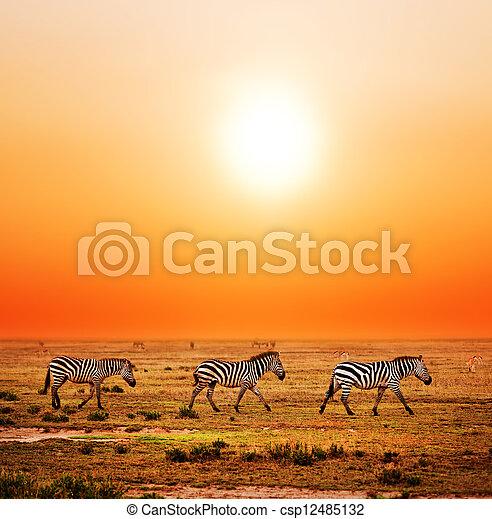 Sonnenuntergang, afrikanisch, savanne,  Zebras, herde - csp12485132