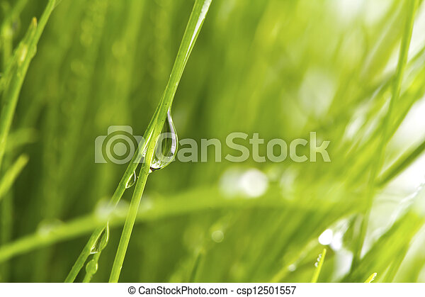 Fresh spring green grass with dew isolated on white background. - csp12501557