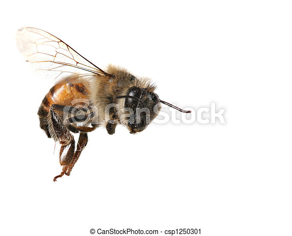 Common Honeybee on White Background - csp1250301