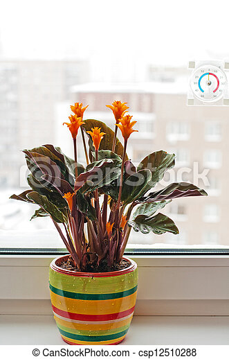 Calathea Krokata room flower on the window sill - csp12510288