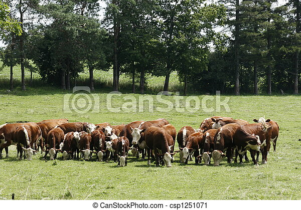 Herd of Cows - csp1251071