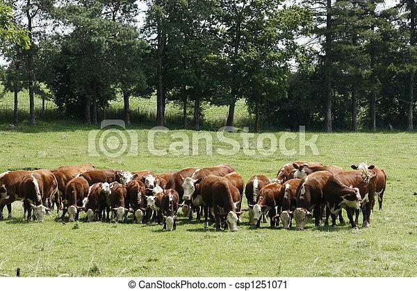 Herd of Cows - csp1251071