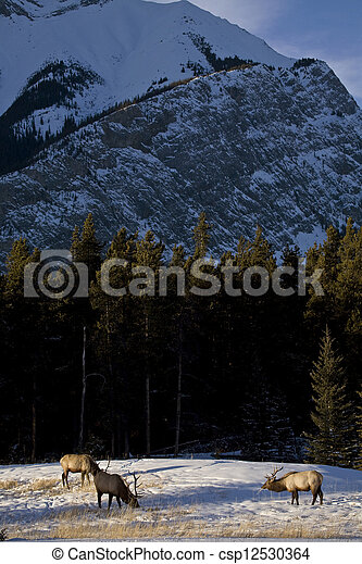 Wild Elk in Winter - csp12530364