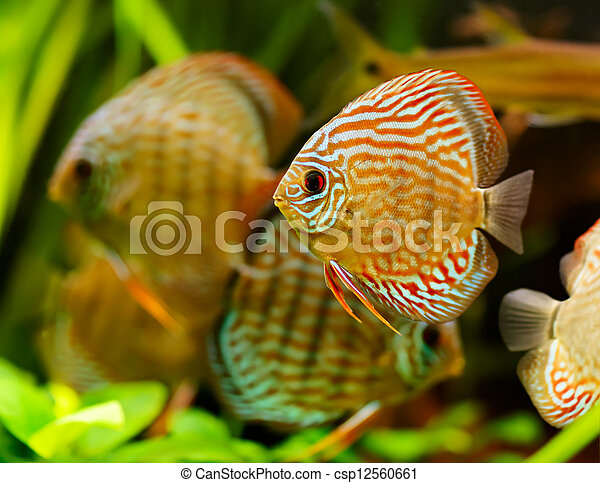 Discus fish (Symphysodon) swimming underwater - csp12560661