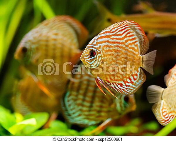 Discus fish (Symphysodon) swimming underwater - csp12560661