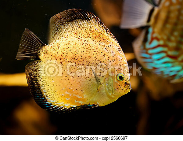 Discus fish (Symphysodon) swimming underwater - csp12560697