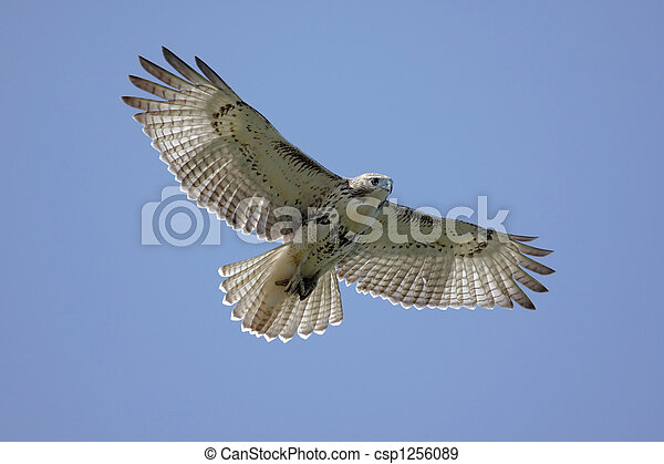 Red-tailed Hawk Soaring - csp1256089