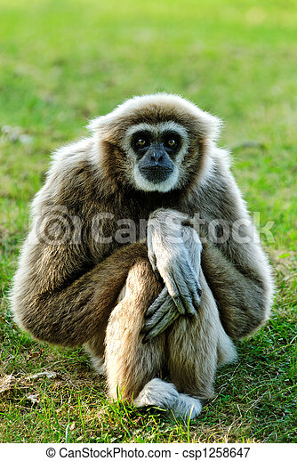 Gibbon  - csp1258647