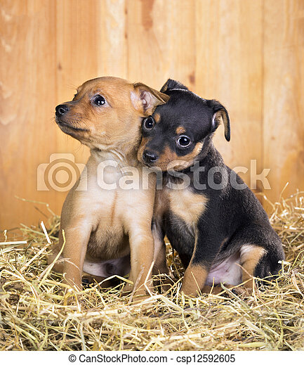 Two Russian Toy Terrier puppies - csp12592605