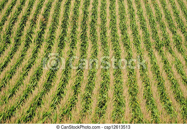 Corn plants and agriculture - csp12613513