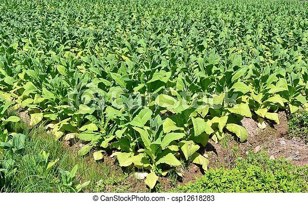 images de ferme tha lande plante arbre tabac tabac arbre dans csp12618283. Black Bedroom Furniture Sets. Home Design Ideas