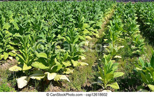 photographies de ferme tha lande plante arbre tabac tabac arbre dans csp12618602. Black Bedroom Furniture Sets. Home Design Ideas