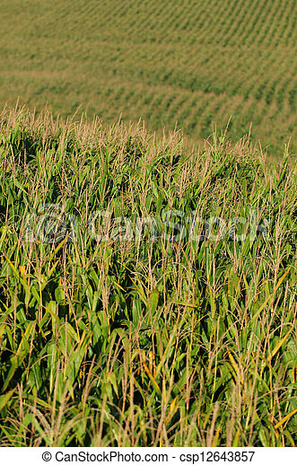 agriculture and cornfield - csp12643857