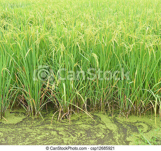 paddy agriculture - csp12685921