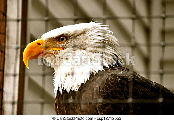 Bald Eagle in Rehabilitation Center - csp12712553