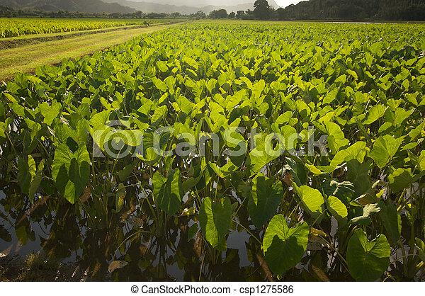 Hanalei Valley and Taro Fields - csp1275586