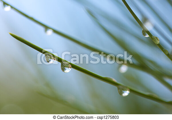 Water Drops on Pine Needles - csp1275803