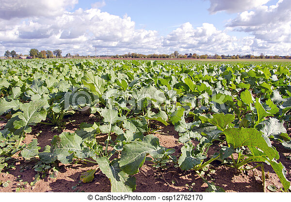 green rape rapeseed agriculture field in autumn - csp12762170