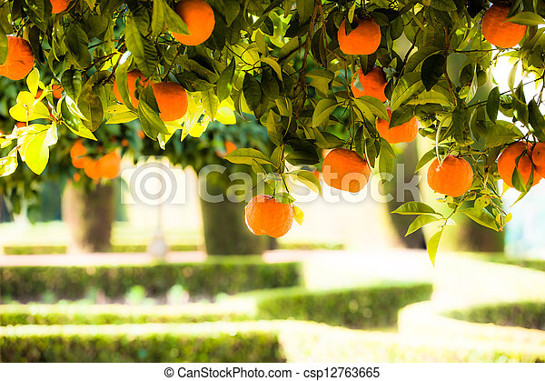 Branch orange tree fruits green leaves in Valencia Spain - csp12763665