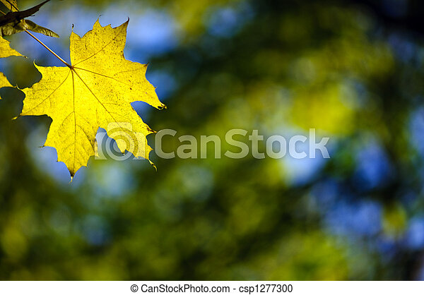 yellow maple fall leaf - csp1277300