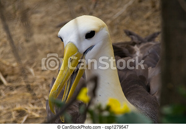 endangered albatross - csp1279547