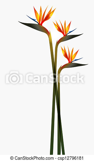 Bird of Paradise flower isolated - csp12796181