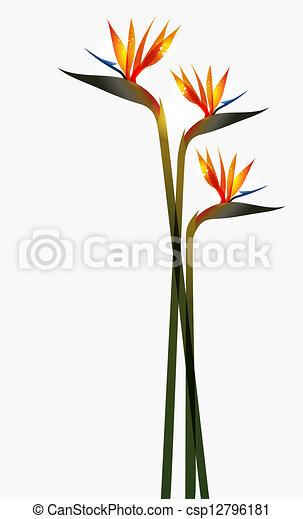 Bird of Paradise flower isolated - csp12796181