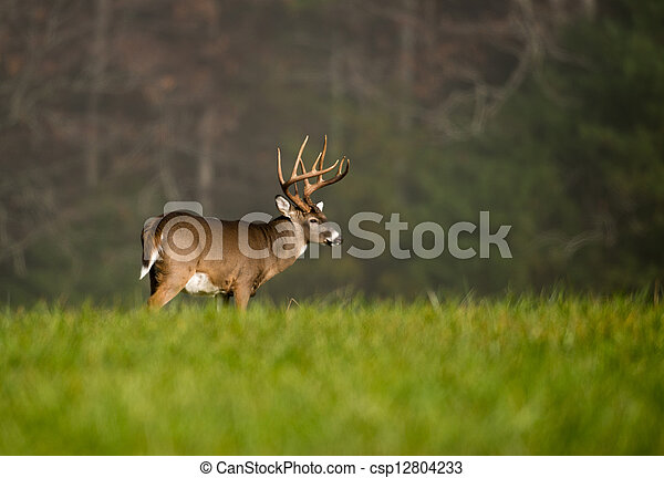 Large white-tailed deer buck - csp12804233