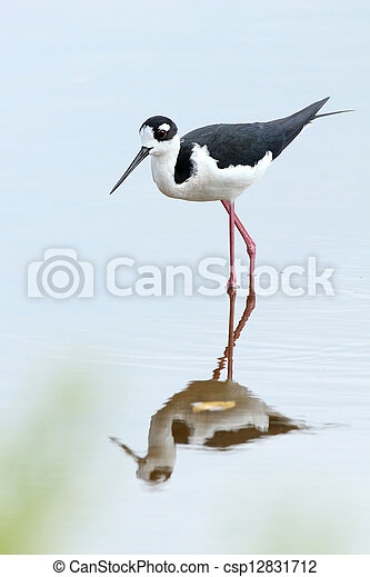 Black-necked Stilt - Everglades National Park, Florida - csp12831712