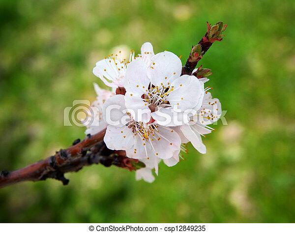 primavera, flor - csp12849235