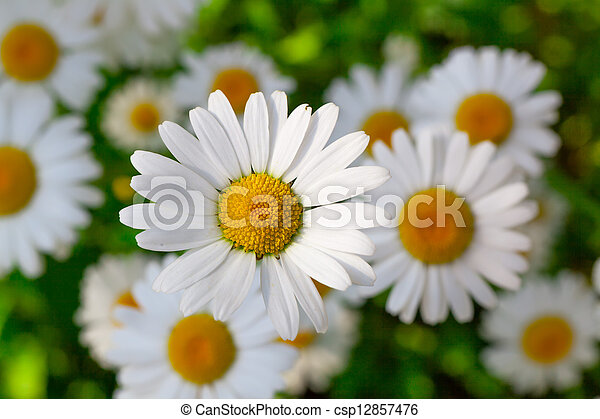 Beautiful chamomile flowers close-up - csp12857476