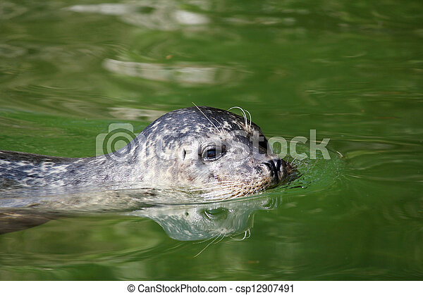 seal aquatic mammal swimming wildlife scene - csp12907491