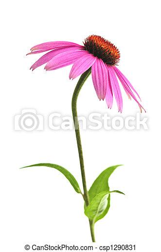 Echinacea purpurea plant - csp1290831
