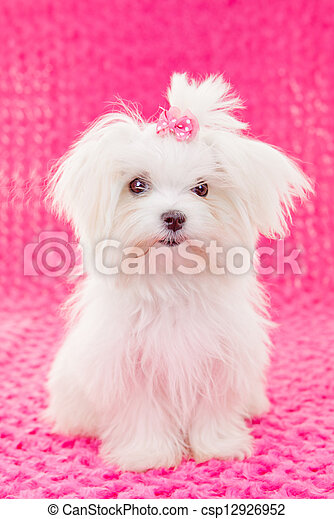 cute maltese puppy dog - csp12926952