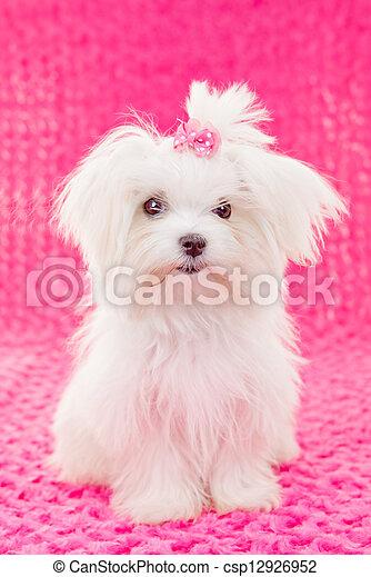 cute maltese puppy dog - csp12926952